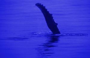 balina üzgecleri