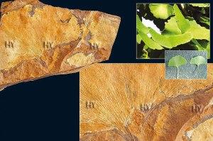 Dövr: Kaynozoy erası, Paleosen dövrü Yaşı: 65-54 milyon il Bölgə: Sentinel Butte, Şimali Dakota, ABŞ