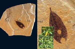 Dövr: Kaynozoy erası, Eosen dövrü Yaşı: 54-37 milyon il Bölgə: Qrin River, Yuta, ABŞ
