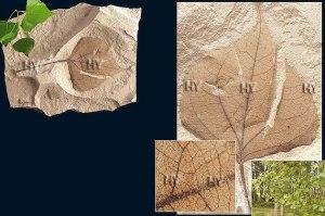 Dövr: Kaynozoy erası, Miosen dövrü Yaşı: 15 milyon il Bölgə: Stuart Sprinqz, Nevada, ABŞ