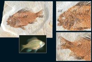 Dövr: Kaynozoy erası, Eosen dövrü Yaşı: 54-37 milyon il Bölgə: Qrin River, Vayominq, ABŞ