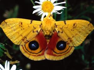 kelebek-resimleri-6