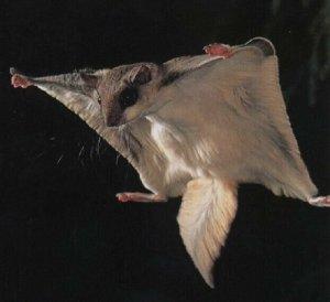 ecureuil-volant